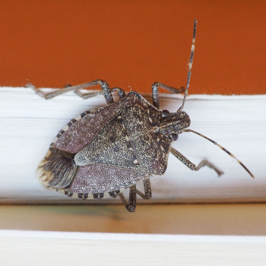 Stink bug photo