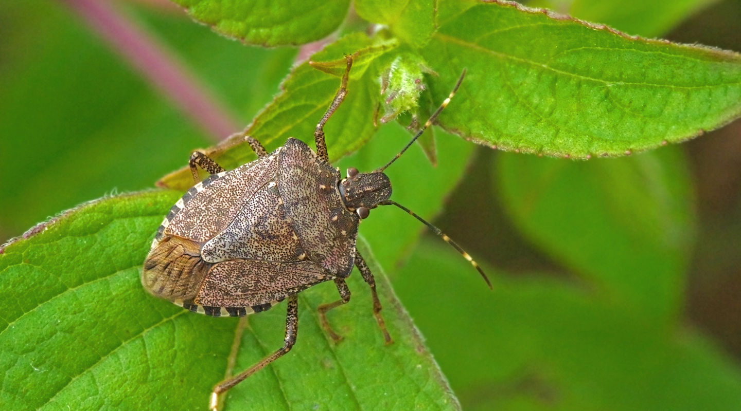 Stink bugs a practical guide original